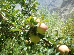 An apple tree bearing fruit without human attention after getting water from a nearby channel