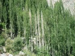 Drying poplar trees